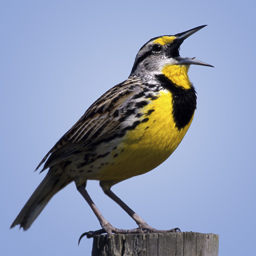 Meadowlark Newsletter, Mar/Apr 2020