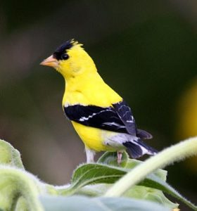 American Goldfinch (PHOTO: Genesee Valley Audubon Society)